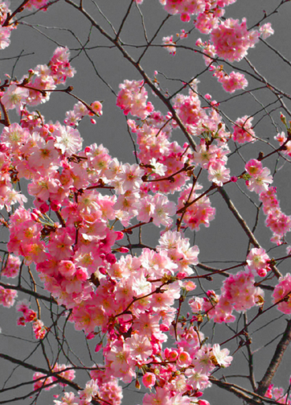 printemps-arbre-fleurs-gr1.jpg